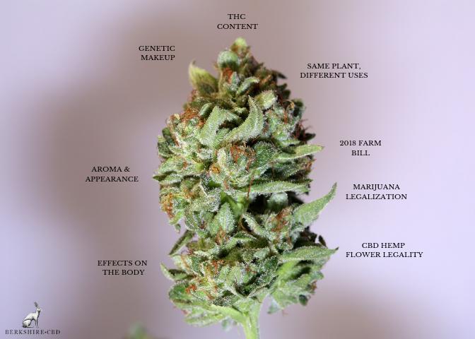 THC - CBD Differences