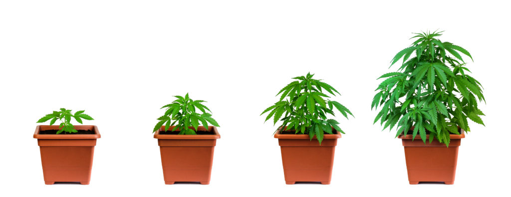 Growing CBD Phases