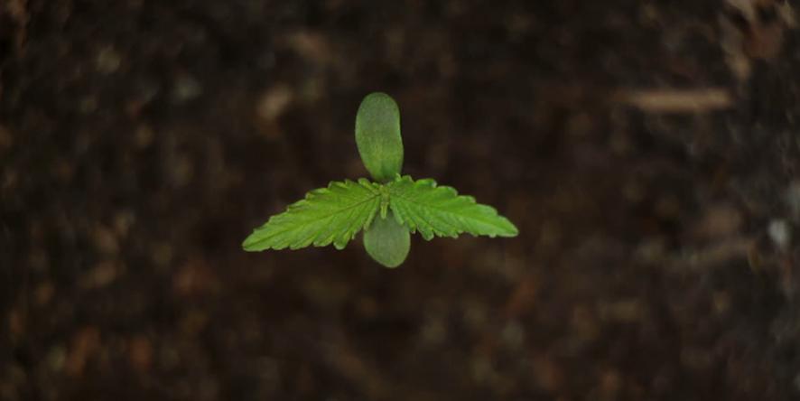Growing CBD Rich Hemp Flower