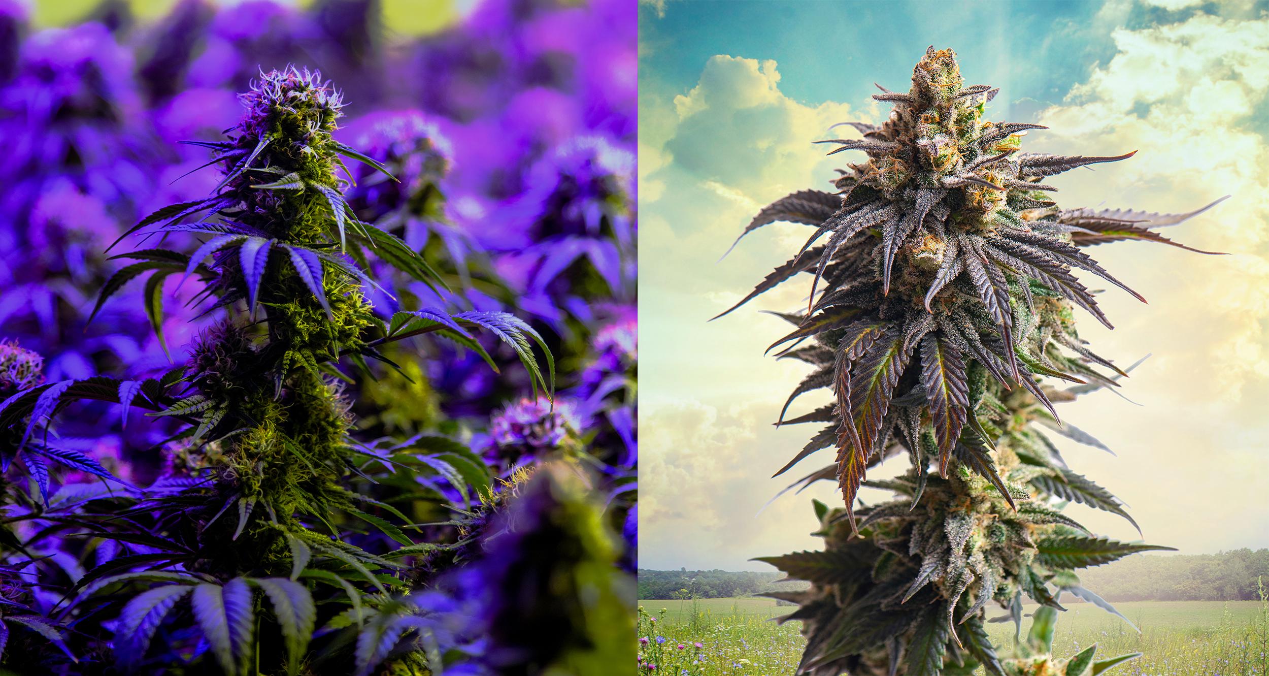 Indoor Versus Sungrown Cannabis Featured