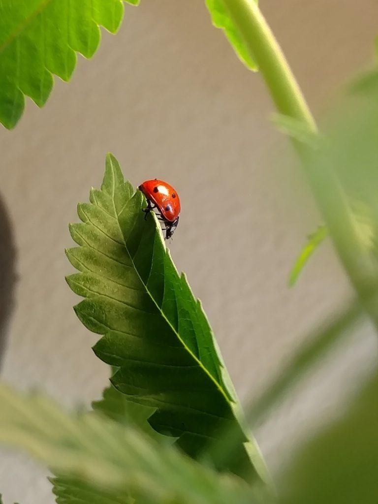 Ladybug pest control organic pesticide cannabis