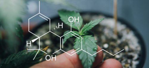 THC vs. CBD – The Key Differences Everyone Must Know