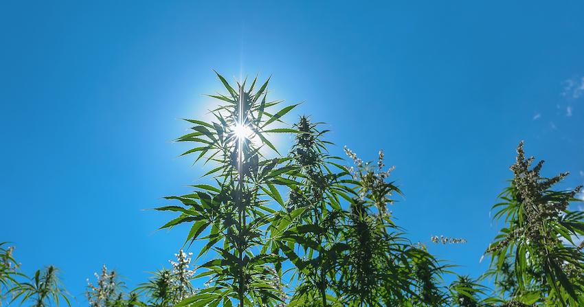 So, Is It Legal To Grow CBD Hemp Flower In Alaska?