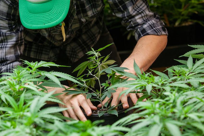 So, Is It Legal To Grow CBD Hemp Flower In Georgia?