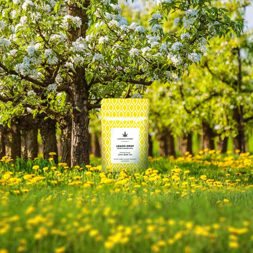 Cannaflower Lemon Drop Lifestyle